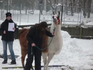 Kind führt Lama in winterlicher Landschaft durch den  Parcour