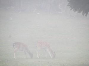 2 Rehe im Nebel