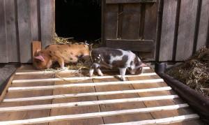 Schweineeinzug 17.4 (1)