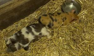 Schweineeinzug 17.4 (3)