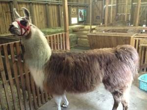 Lamas (1)