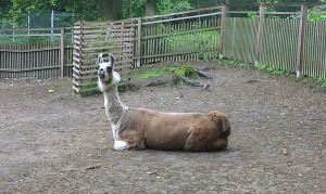 Lamas (2)