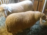 2 Schafe - Pünktchen und Eva