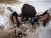 3 Ziegen werden von einer Person gestreichelt