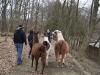 drei-lamas-machen-den-ersten-spaziergang-10-3-13-2