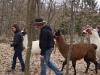 drei-lamas-machen-den-ersten-spaziergang-10-3-13-3