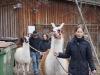drei-lamas-machen-den-ersten-spaziergang-10-3-13