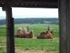 2-kamele-auf-der-wiese