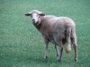 Schaf Lucy