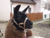 Lama Speedy