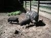 3 Schweine im Gehege