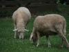 2 Schafe auf der Wiese
