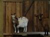 2 Ziegen im Stall