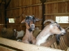Ziegen im Stall