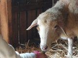 Schaf Denise wird gefüttert